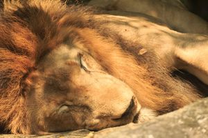 Lion Sleeping in the zoo from thailand